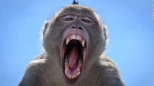 Lopburi, Thailand, grapples with a surging monkey population